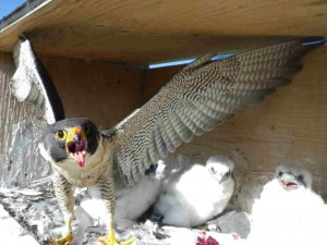 Falcon and chicks